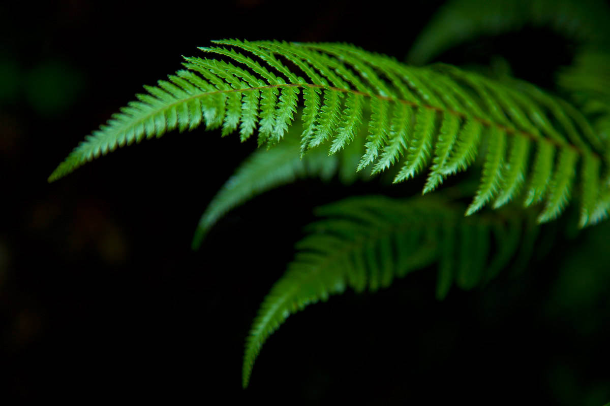 fern bough 3